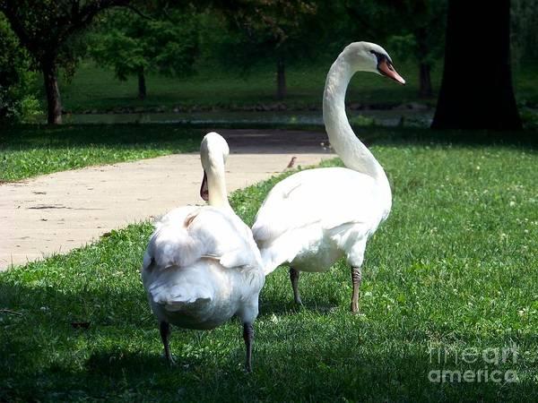 Photograph - Walking Swans by Charles Robinson