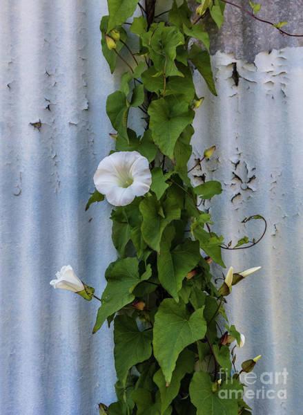 Astoria Photograph - Wall Flower by Patti Schulze