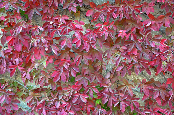 Photograph - Wall Of Leaves 1 by Dubi Roman