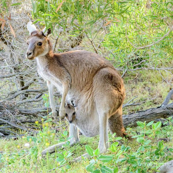 Photograph -  Western Grey Kangaroo 1 by Werner Padarin