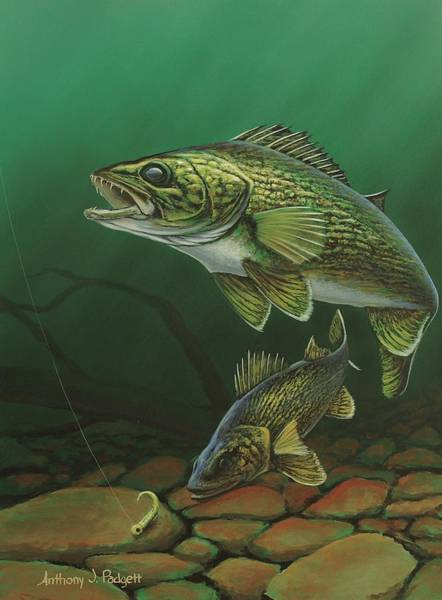 Painting - Walleye by Anthony J Padgett