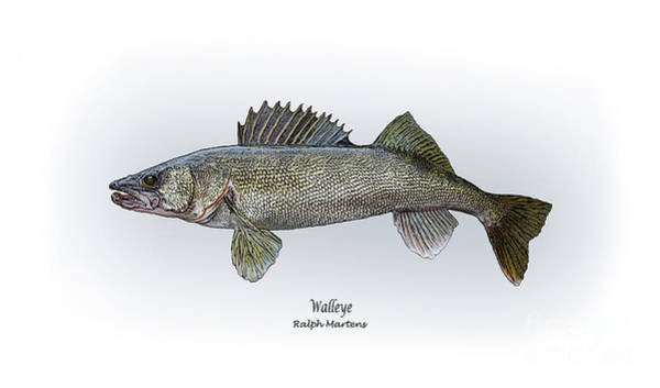 Angling Art Wall Art - Painting - Walleye by Ralph Martens