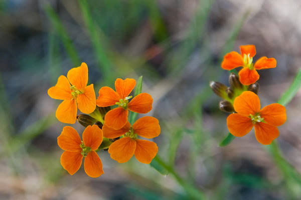 Photograph - Wallflower Wildflower by Cascade Colors