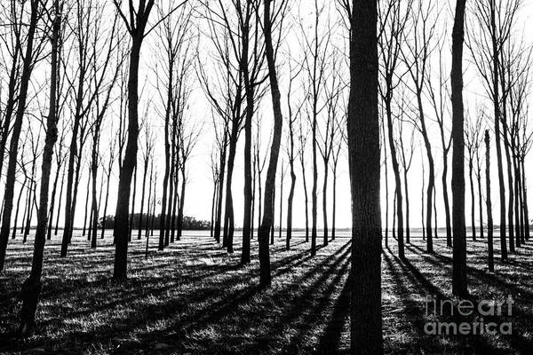 Photograph - Walnut Grove Bw by Michael Arend