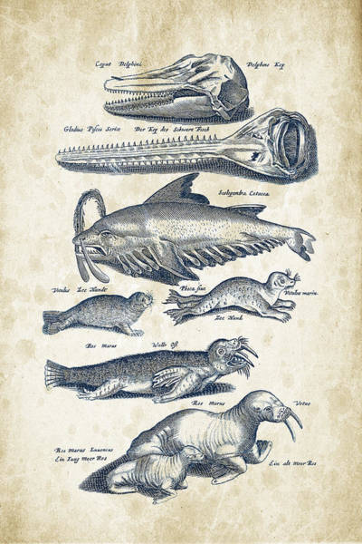 Seal Digital Art - Walrus And Dolphins Historiae Naturalis 08 - 1657 - 43 by Aged Pixel