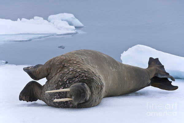 Laying Out Photograph - Walrus Stretching by Jean-Louis Klein & Marie-Luce Hubert