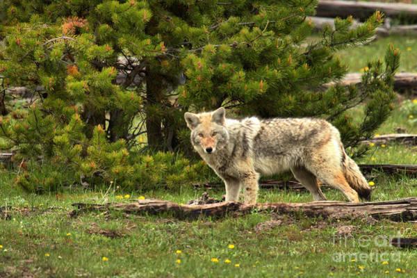 Photograph - Wandering Among The Yellowstone Pines by Adam Jewell