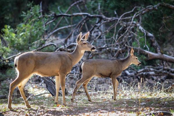 Photograph - Wandering Deer At Yosemite by Adam Rainoff