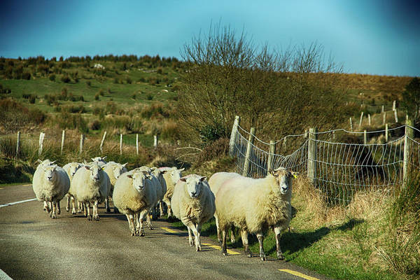 Photograph - Wandering Sheep by Marie Leslie