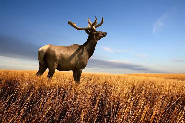 Photograph - Wapiti by Bryan Smith