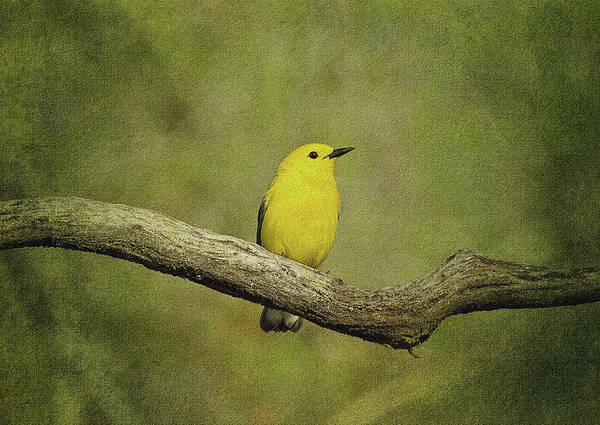 Photograph - Warbler by Sandy Keeton