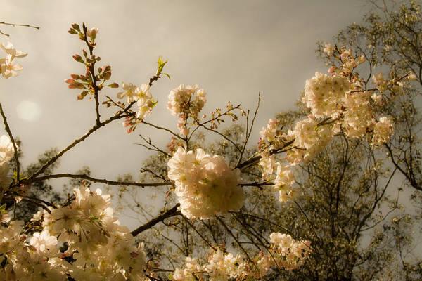 Photograph - Warm Cherry Blossoms by Bonnie Follett