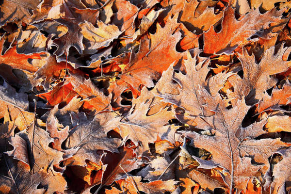 Wall Art - Photograph - Warm Colors Frosty Leaves by Carol Groenen