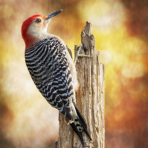 Red Bellied Woodpecker Photograph - Warm Morning Red-belly by Bill Tiepelman