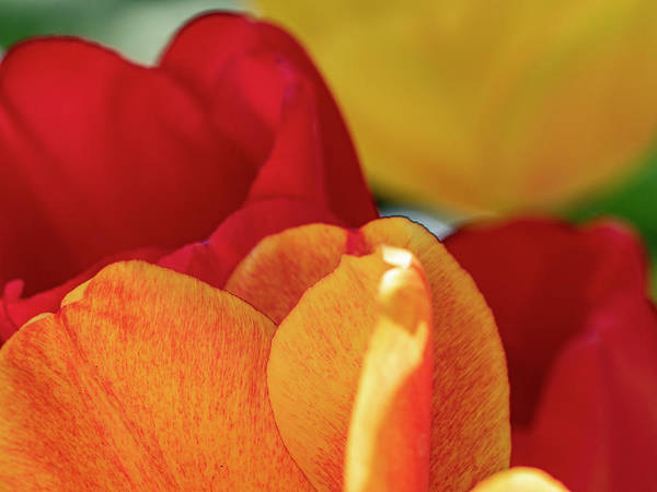 Photograph - Warm Tulip Palette by Stephen Barrie