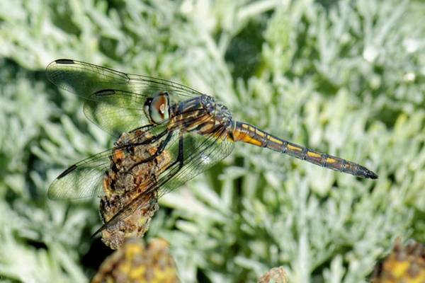 Warming-up - Darner Dragonfly Art Print