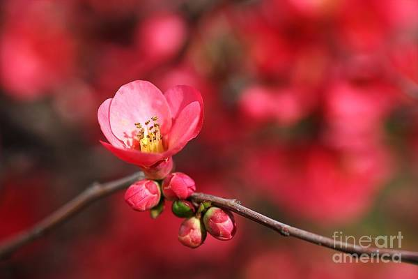 Warmth Of Flowering Quince Art Print