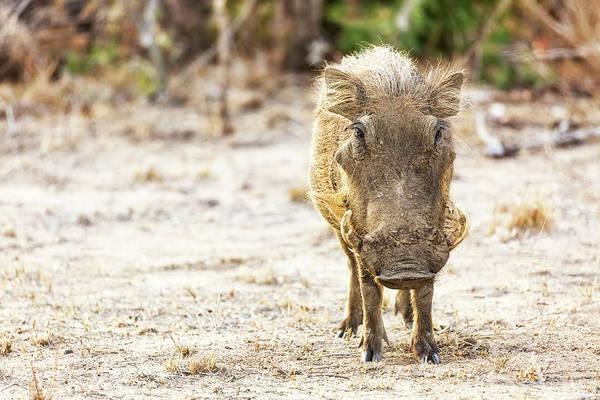 Savanna Photograph - Warthog In Kruger National Park by Susan Schmitz