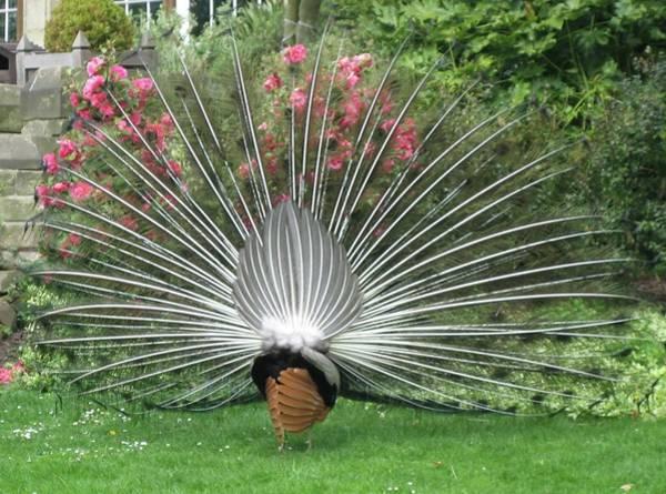 Photograph - Warwick Castle Peacock Backside by Annette Hadley