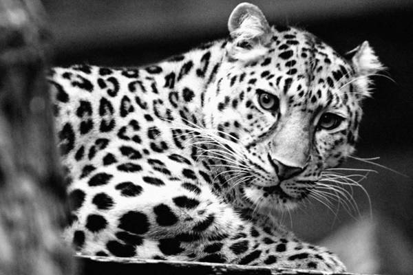 Sascha Wall Art - Photograph - Wary Leopard by Sascha Richartz
