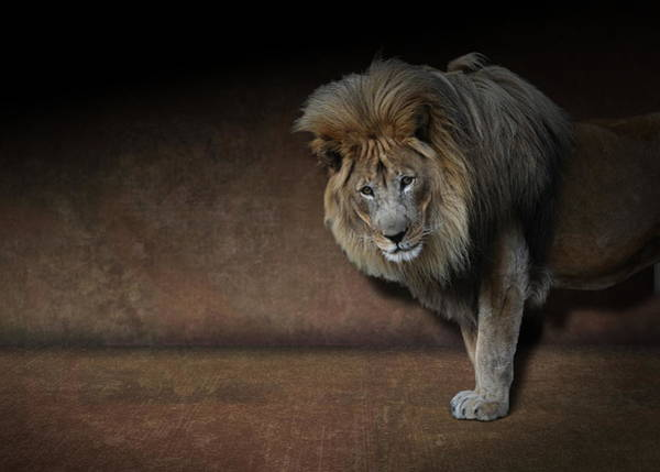 Photograph - Was That My Cue? - Lion On Stage by Debi Dalio