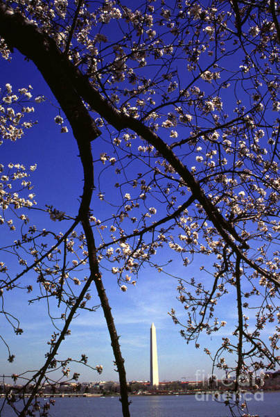 Photograph - Washington Monument And Cherry Blossoms by Thomas R Fletcher