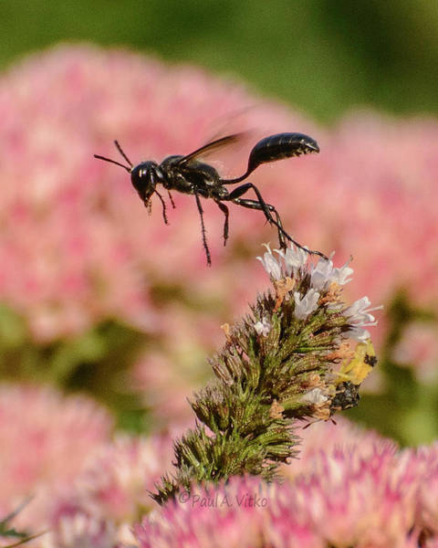 Photograph - Wasp Black.... by Paul Vitko