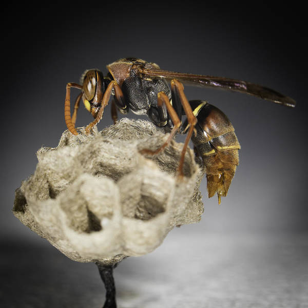 Photograph - Wasp On A Nest by Chris Cousins
