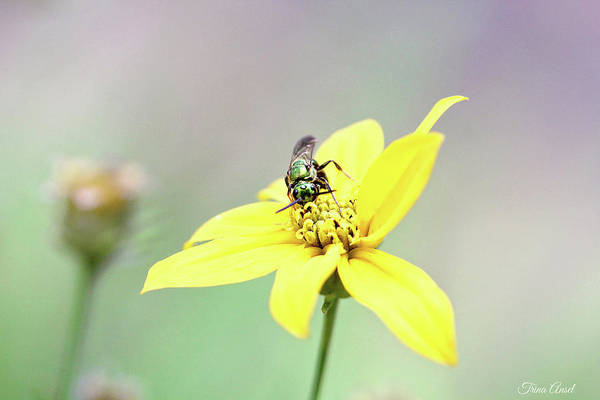 Photograph - Wasp On Coreopsis by Trina Ansel