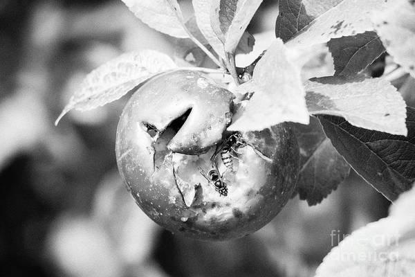 Wall Art - Photograph - Wasps Feeding In Water Split Home Grown Discovery Apples In A Garden In The Uk by Joe Fox