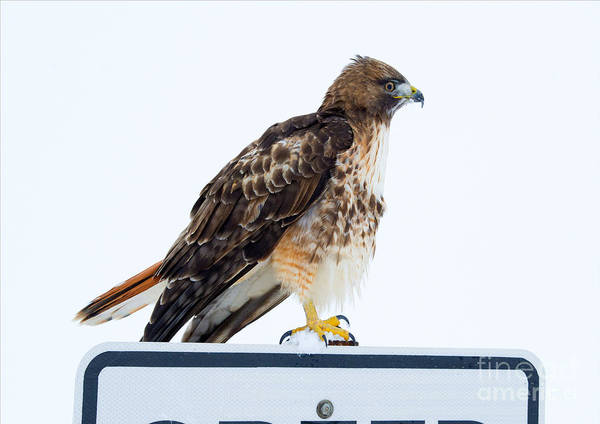 Red Tailed Hawk Photograph - Watcher by Mike Dawson