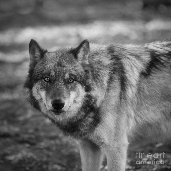 White Wolf Photograph - Watchful by Ana V Ramirez
