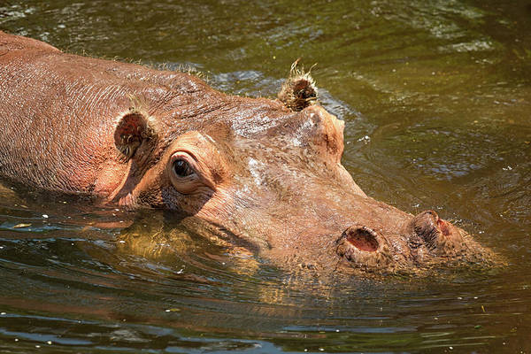 Photograph - Watchful Hippo by Travis Rogers