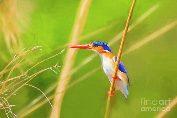 Photograph - Watchful Malalchite Kingfisher by Kay Brewer