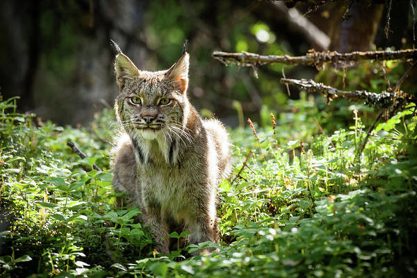 Photograph - Watchful Mama Lynx by Tim Newton