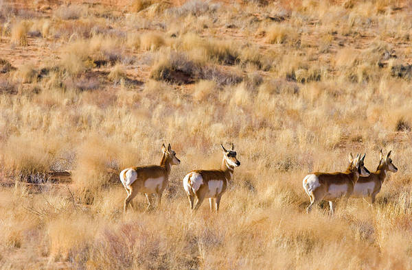 Pronghorn Antelope Wall Art - Photograph - Watchful by Mike  Dawson
