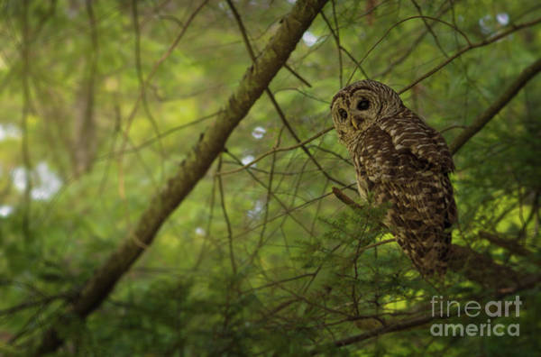 Hoot Wall Art - Photograph - Barred Owl Watching by Lena Auxier