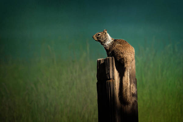 Marmot Photograph - Watching Out- 365-66 by Inge Riis McDonald