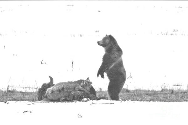 Photograph - Watching Over My Meat Yellowstone Grizzly 2018 Black And White by Adam Jewell