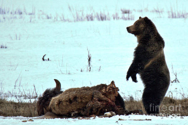Photograph - Watching Over My Meat Yellowstone Grizzly 2018 Crop by Adam Jewell