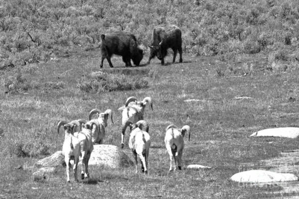 Glacial Erratic Photograph - Watching The Bison Brawl Black And White by Adam Jewell
