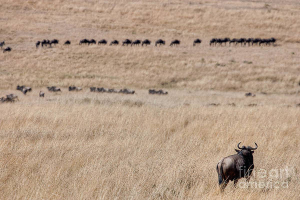 Photograph - Watching The Herd by Colette Panaioti