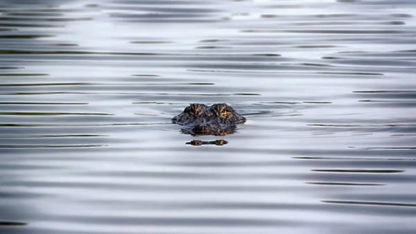Airboat Photograph - Watching You by Susan Rissi Tregoning
