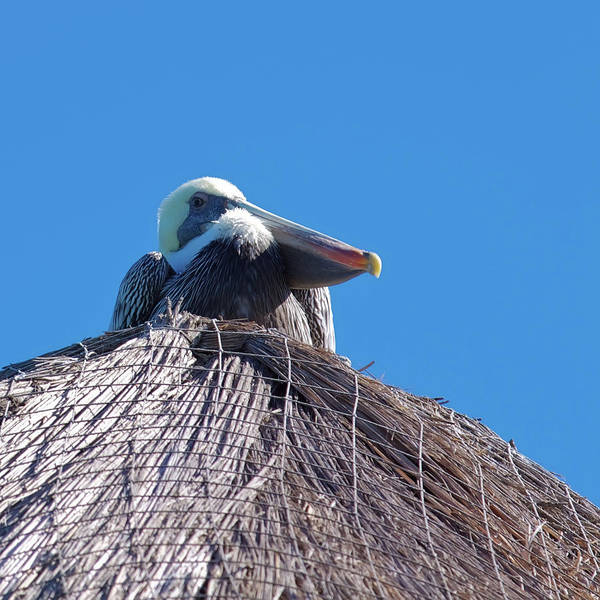 Photograph - Pelican Watching You - Cozumel, Mexico by Tatiana Travelways
