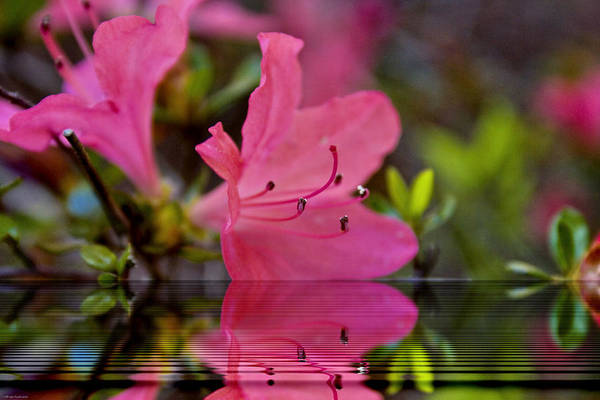 Chs Digital Art - Water Azalea by Ches Black