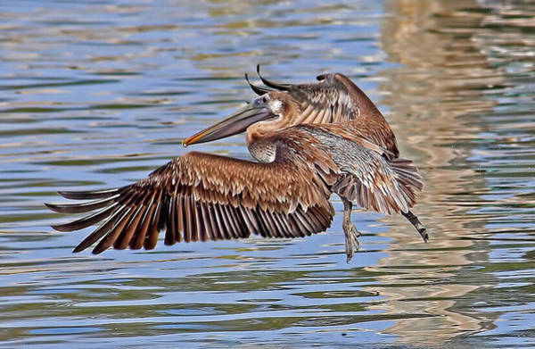 Gular Photograph - Water Ballet - Brown Pelican by HH Photography of Florida