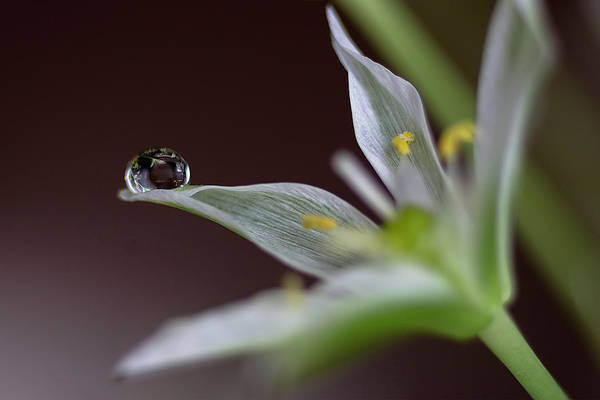 Photograph - Water Drop On A Little White Flower 3 by Wolfgang Stocker