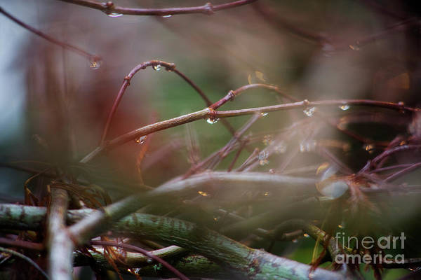 Photograph - Water Droplets On Twigs Iv by Charmian Vistaunet