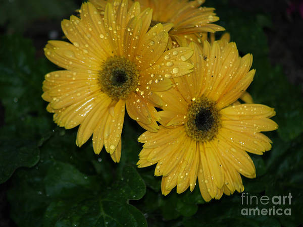 Photograph - Water Droplets On Yellow Gerber Daisies by Robin Maria Pedrero
