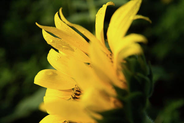 Photograph - Water Drops And Sunflower Petals by Dennis Dame